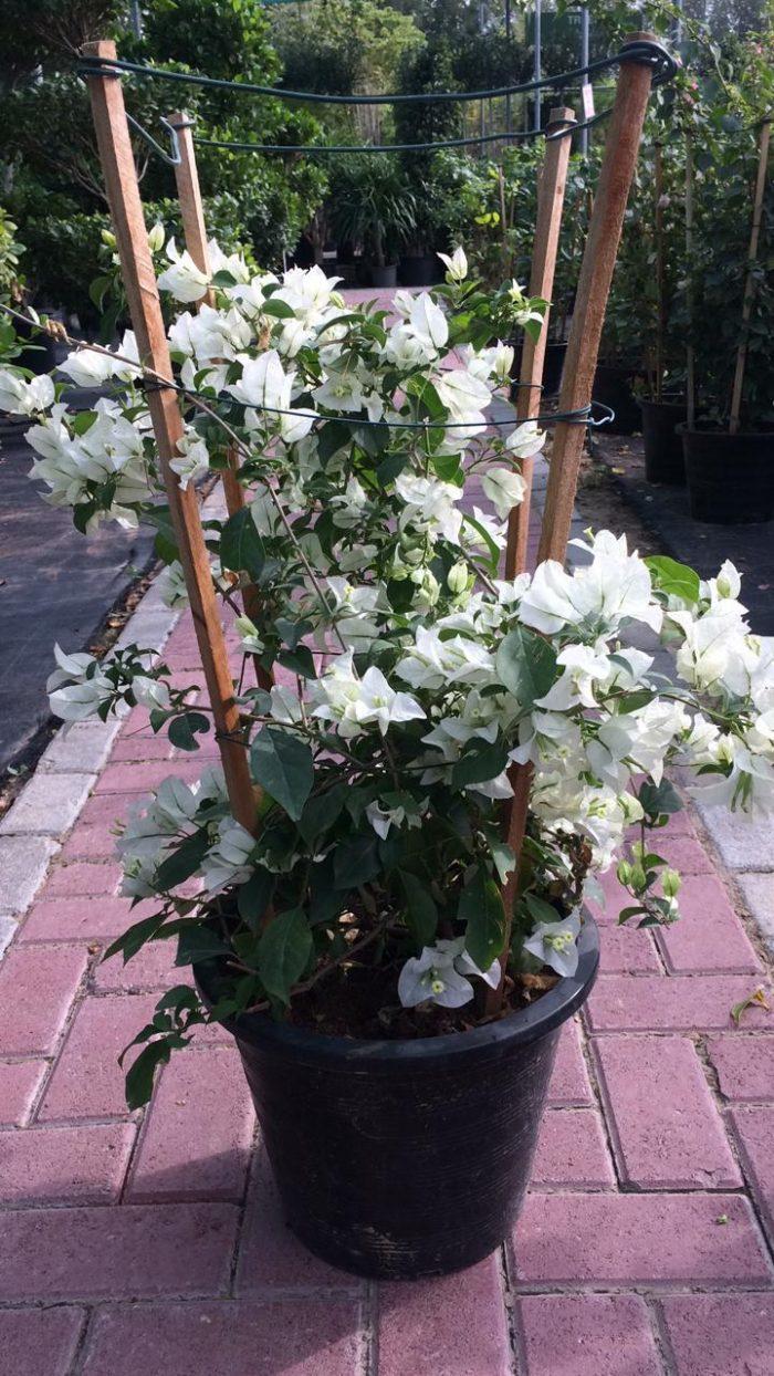 bougainvillea glabra white