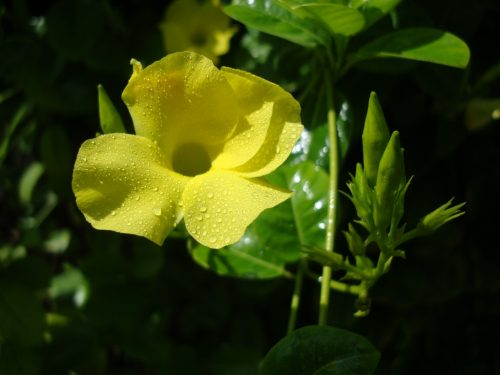 Mandevilla splendens Or Yellow Bell Climber