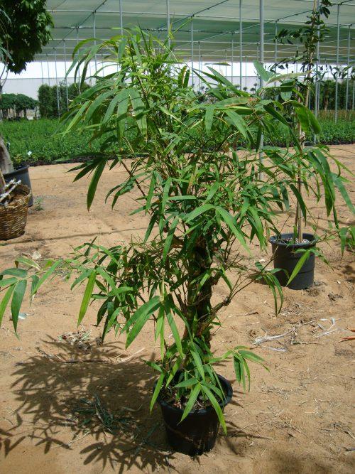 Bambusa ventricosa or Buddha's Belly Bamboo