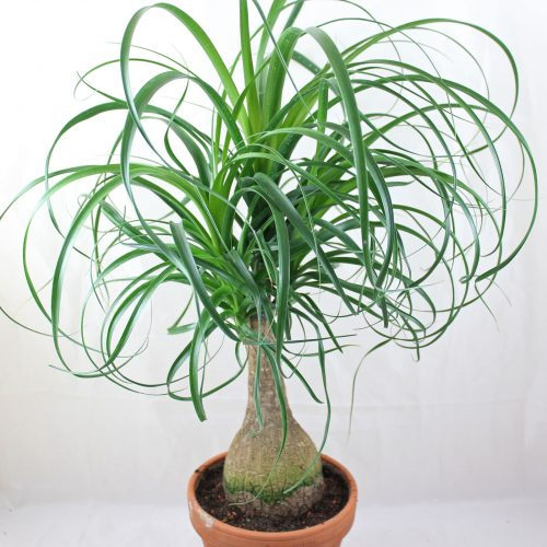 Beaucarnea recurvata, Nolina recurvata , Elephant's Foot or Ponytail Palm