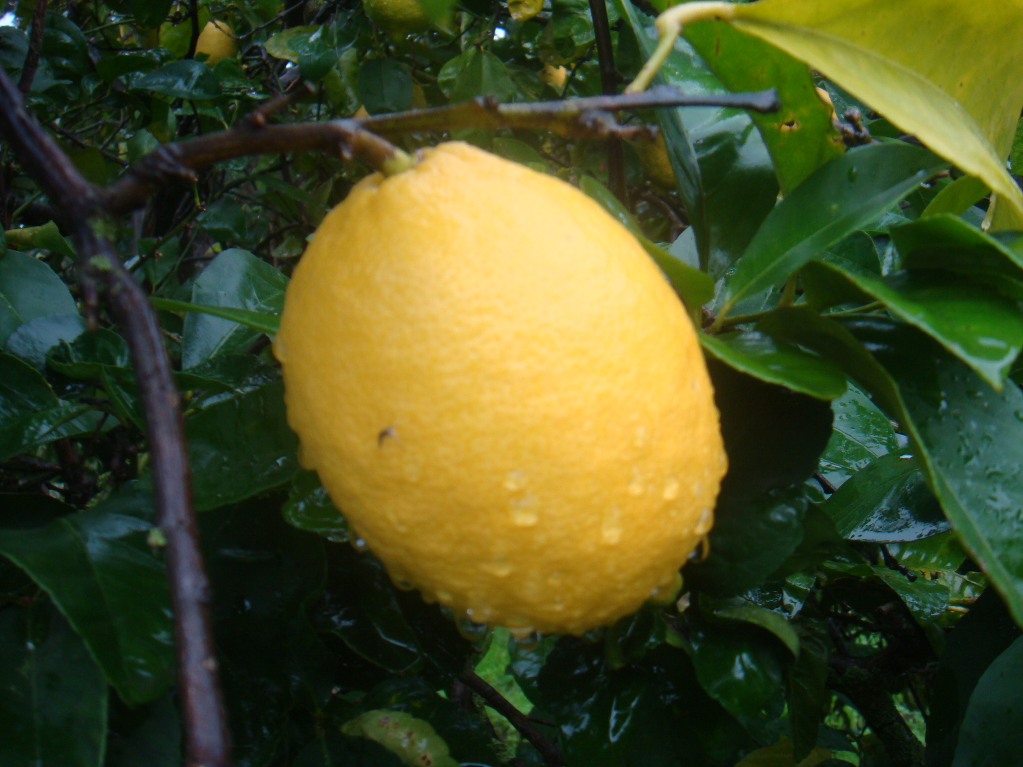 Citrus Lemon tree ليمون
