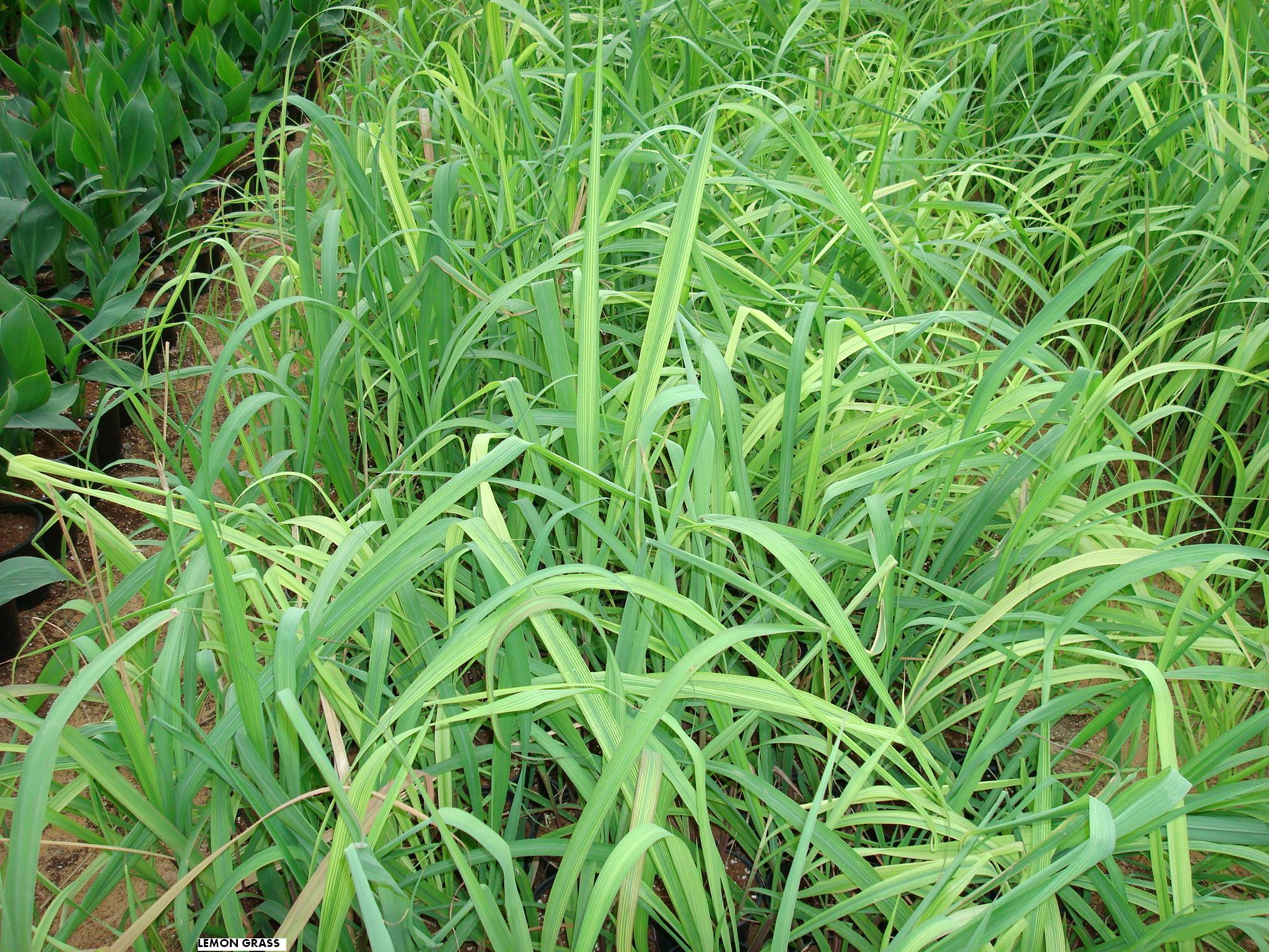 Cymbopogon lemon grass