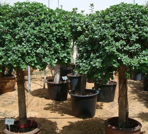Ficus diversifolia, Ficus Rounded