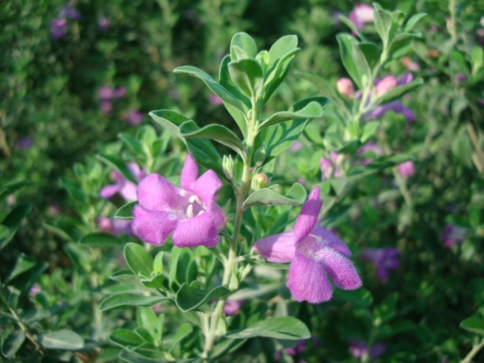 Leucophyllum frutescens Texas sage