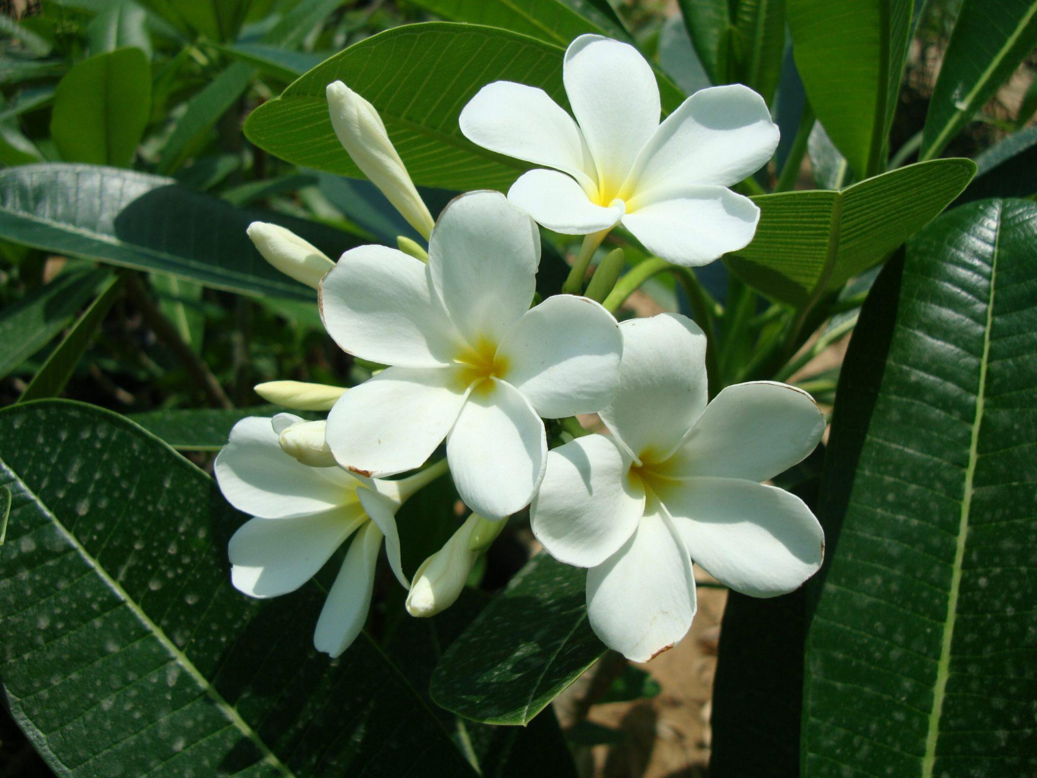 """Plumeria obtusa """"Frangipani or The Temple Tree ."""