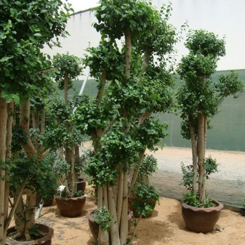 Ficus multi head