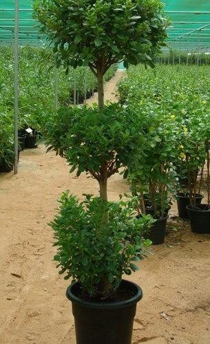 Ficus diversifolia, Ficus three heads