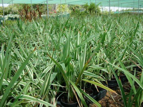 """Dianella tasmanica """"Variegata"""" or Tasman Flax-lily"""