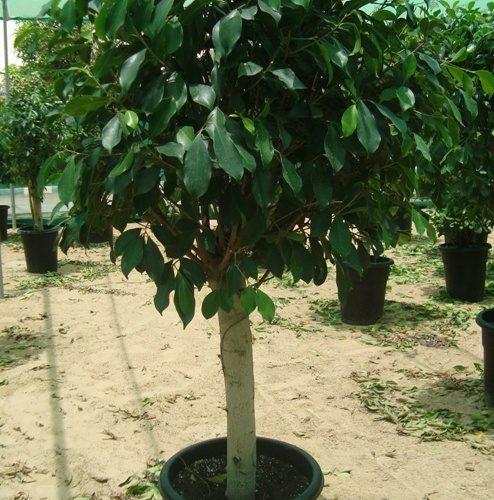 Ficus diversifolia