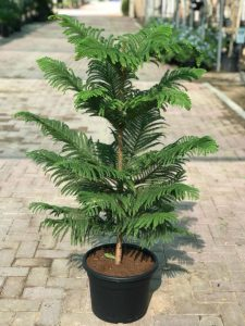 Araucaria heterophylla (Norfolk Island Pine)