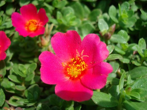 Portulaca grandiflora or Rose Moss