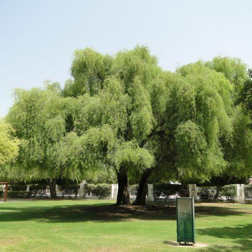 Prosopis cineraria, شجرة الغاف ghaf tree prosopis