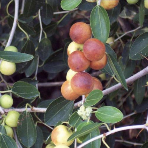 Ziziphus sipha christi or Sidr Tree