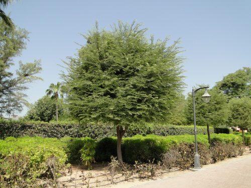 Tamarindus indica or Tamarind Tree شجرة التمر الهندي