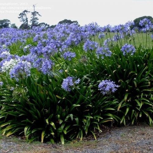 Agapanthus african or African lily