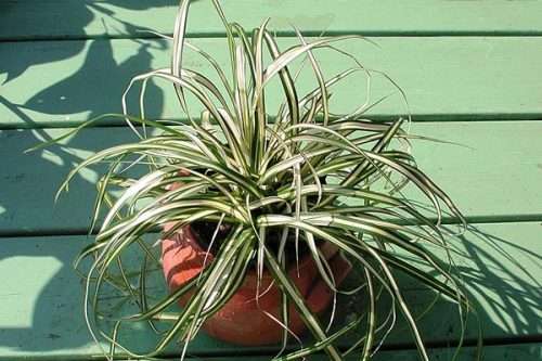 Carex hachjioensis