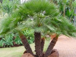 chamaerops humilis European fan palm
