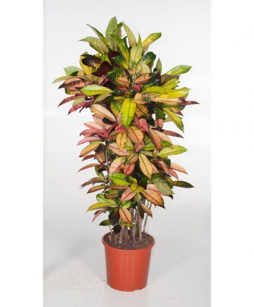 Codiaeum variegatum, Croton, Mrs Iceton