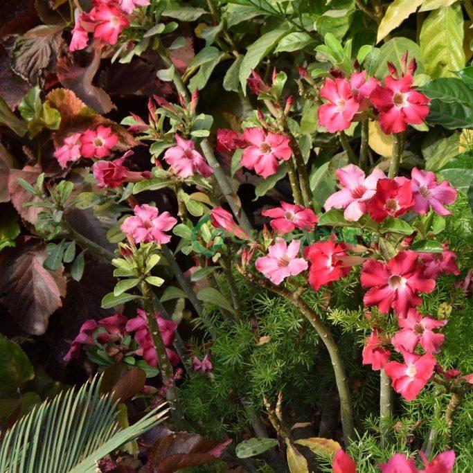 وردة الصحراء Adenium obesum (Desert Rose Flower)