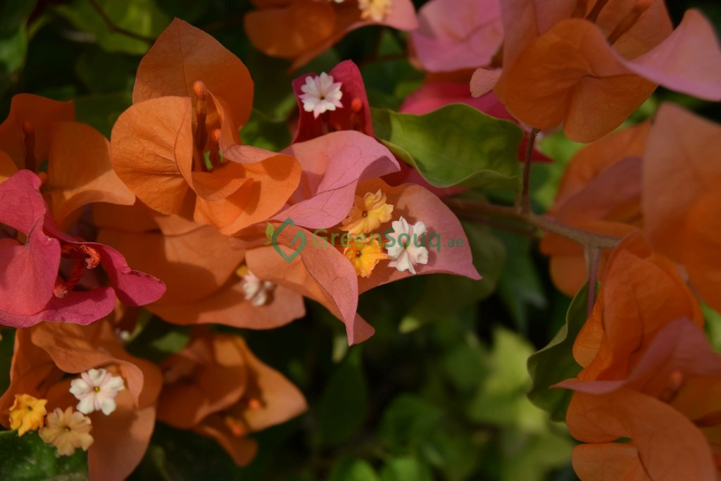 Bougainvillea spectabilis Orange