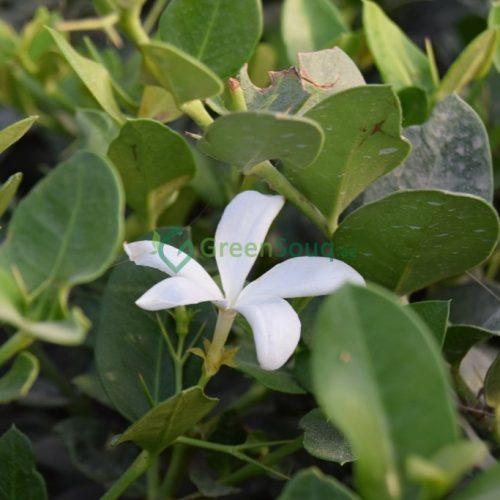 Carissa grandiflora natal plum