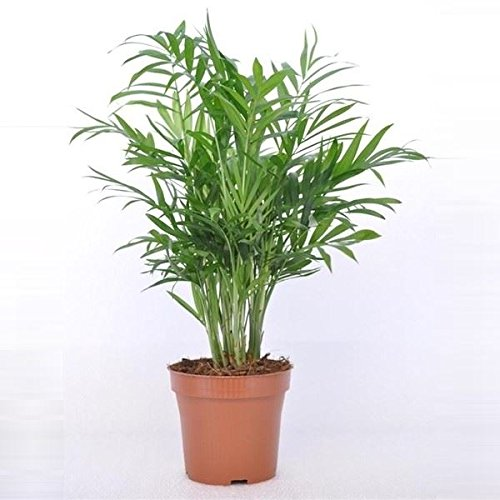 Chamaedorea elegans (Parlour Palm) buy online in UAE | Green Souq