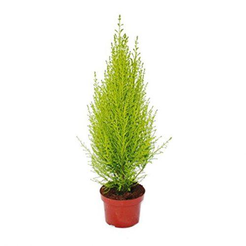 Cupressus macrocarpa 'Goldcrest Wilma' (Lemon Cyperus)