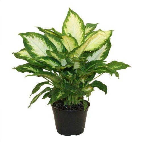 Dieffenbachia 'Camilla' Dumb Cane Plant UAE