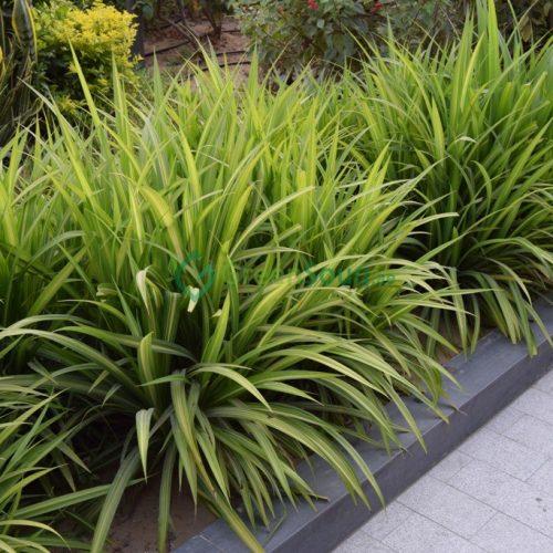 Pandanus baptistii variegata
