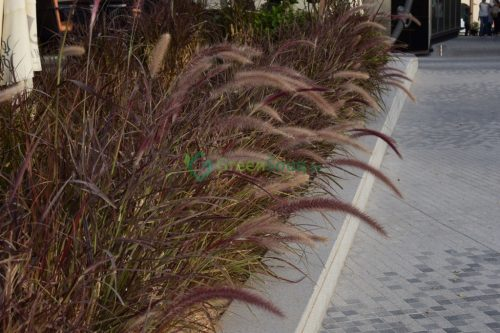 Pennisetum setaceum rubrum (African Fountain Grass, Tender Fountain Grass, Fountain Grass)