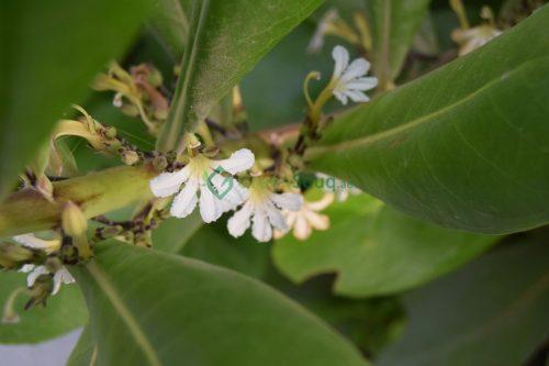 Scaevola frutescens )Vahl Beach Naupaka, Hawaiian Half Flower, Sea Lettuce)