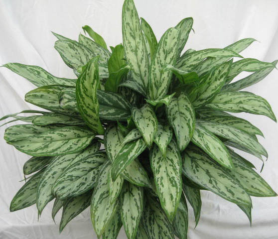 aglaonema-silver-queen-xl