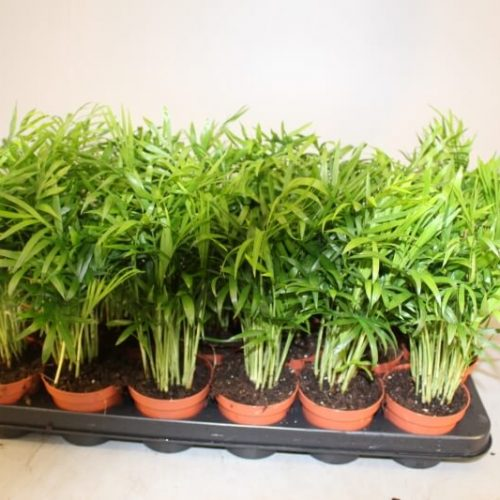 Chamaedorea elegans (Parlor Palm) buy online in UAE | Green Souq