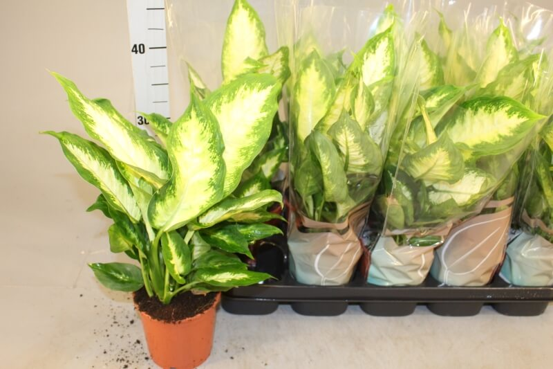 Dieffenbachia 'Camilla' Dumb Cane Plant