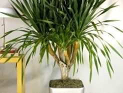 dracaena Draco, dragon tree