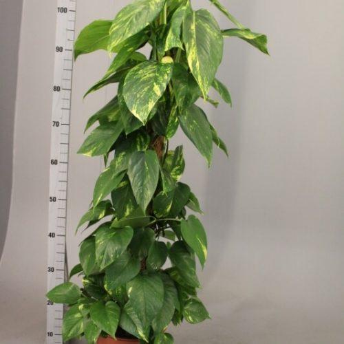 Epipremnum pinnatum aureum Money Plant