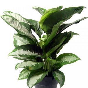 aglaonema pattaya beauty
