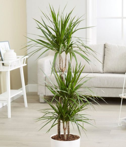 dracaena marginata buy indoor plants online dubai use