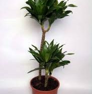 Dracaena fragrans compacta buy in dubai