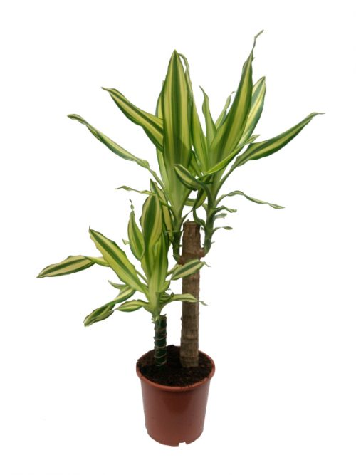 dracaena fragrans yellow coast buy online