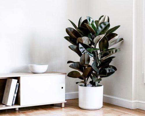 Ficus elastica Abidjan Rubber Plant