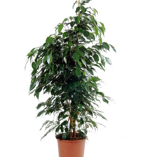 Ficus benjamina dianelle weeping fig buy online UAE