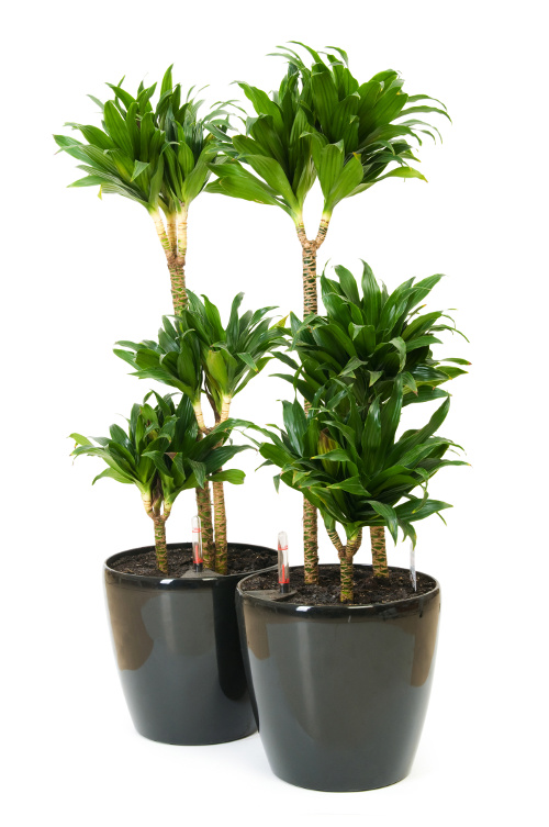 Dracaena fragrans Or Compacta