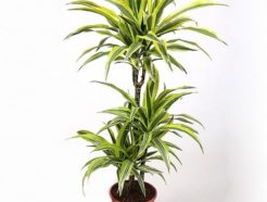 dracaena fragrans golden coast order indoor plants online UAE