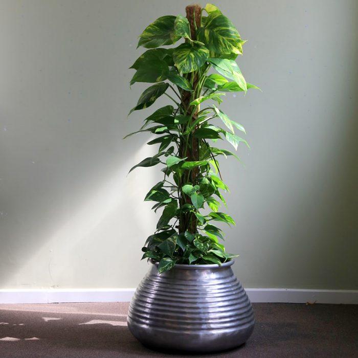 Epipremnum aureum money plant كرمة المال dubai