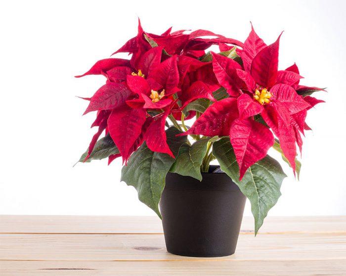 Euphorbia pulcherrima, Poinsettia titan red