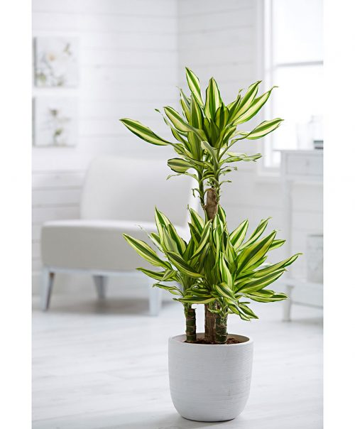 dracaena yellow coast