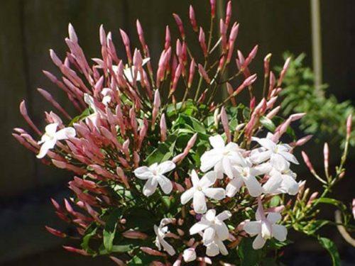 Jasminum polyanthum or Pink Jasmine Wine الياسمين الوردي