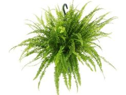 Indoor outdoor plants Nasa Clean air study purify purification purifying Nephrolepis exaltata Green Lady Boston Fern Sword Fern
