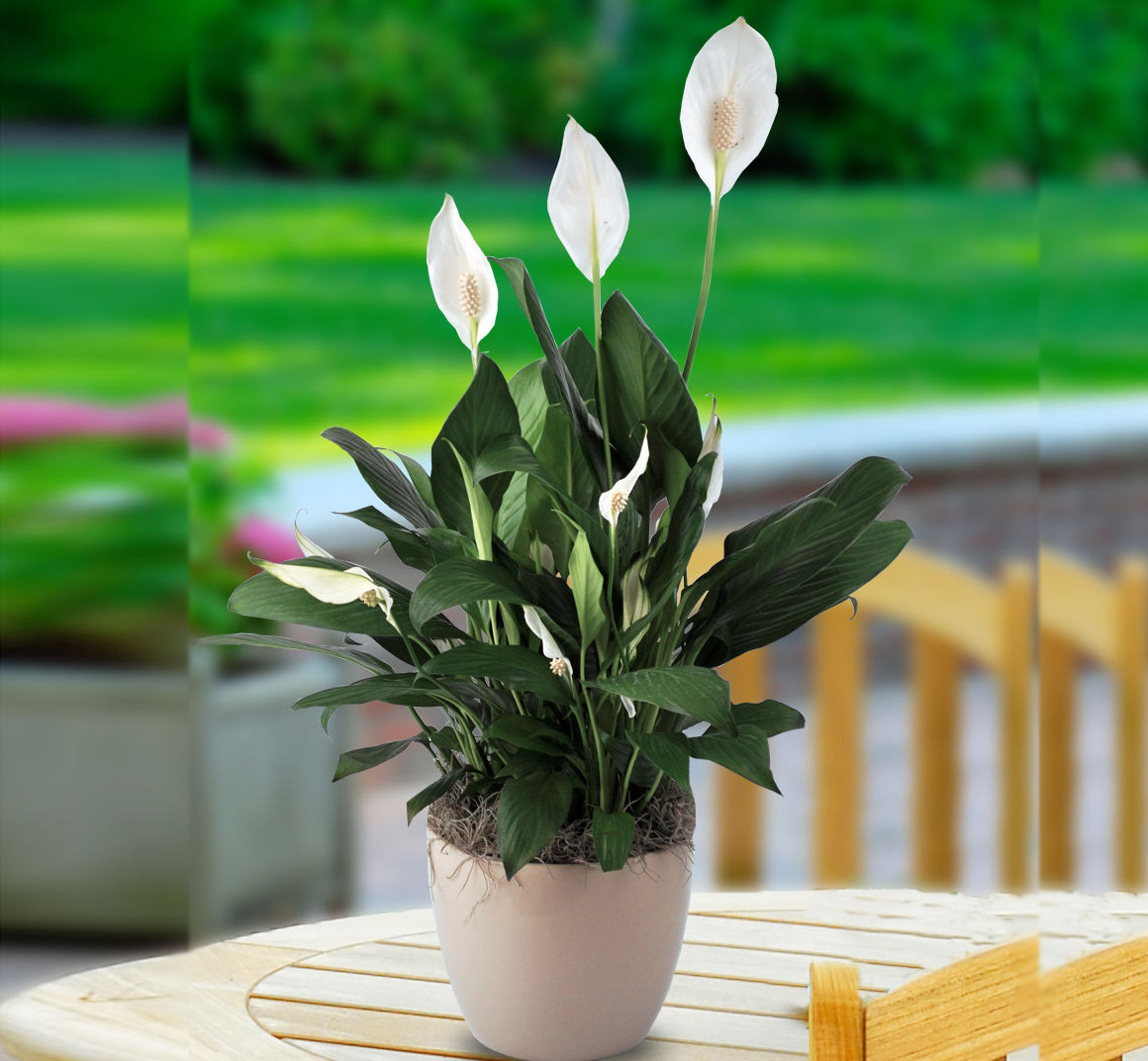 Spathiphyllum or Peace Lily